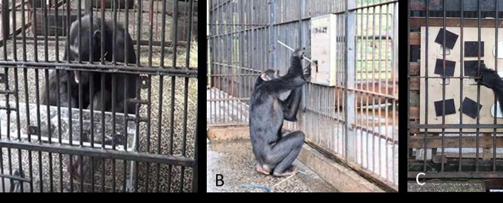 Chimpanzee Problem Solving